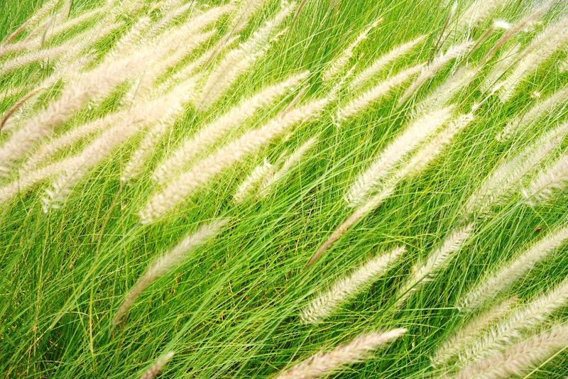 Green Color Green Greenery Green Bristlegrass Green Foxtail Cereal Plant Backgrounds Agriculture Rural Scene Full Frame Field High Angle View Crop  Wheat Grass