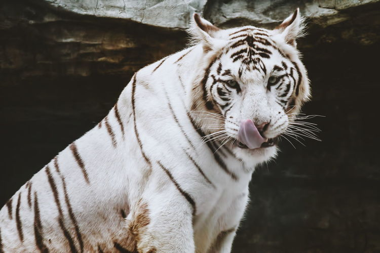 Portrait of white tiger
