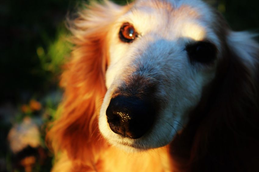 Animal Nose Animal Themes Brown Brown Eyes Browny Dachshund Dackel Dackelblick Dog Doxie Langhaardackel Nature No People Outdoors Pets Portrait Snout Teckel