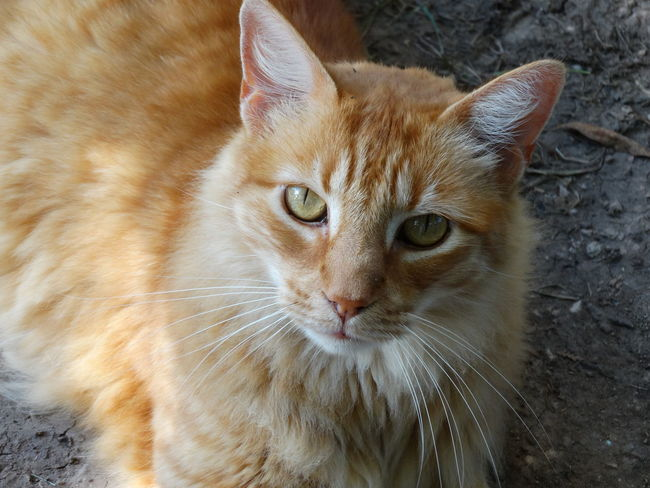 Domestic Cat Domestic Animals Mammal Pets Animal Themes Feline One Animal Looking At Camera Portrait Whisker No People Close-up Indoors  Tabby Cat Nature Day