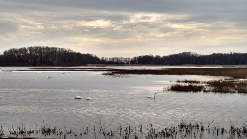 Tundra Swan Pond Nature Swan Beauty In Nature Water Outdoors Day Sky Winter Cold No People