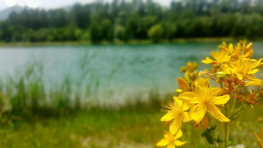 Flowers Flower Fiori Lago Lago Dei Cigni Torcino Natura Nature