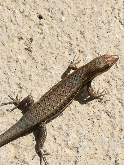 Animal Themes One Animal High Angle View Lizard No People Nature Reptile Day Animal Wildlife Outdoors Taken From Smartphone Camera Beauty In Nature Nature Reptile World Love To Take Photos ❤