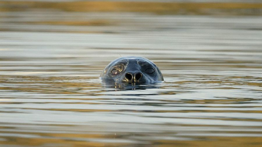 Seal Seal Face Swimming Animal In Water Beauty In Nature Mammal Outdoors Nature Waterfront Autumn Coastal Life Curious Floating Simplicity
