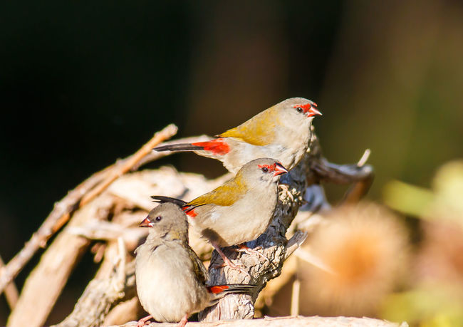 Red Browed Finches Australian Birds In The Wild Australian Birds Red Browed Finches Animal Themes Animal Wildlife Animals In The Wild Bird Close-up Day Nature No People Outdoors Perching