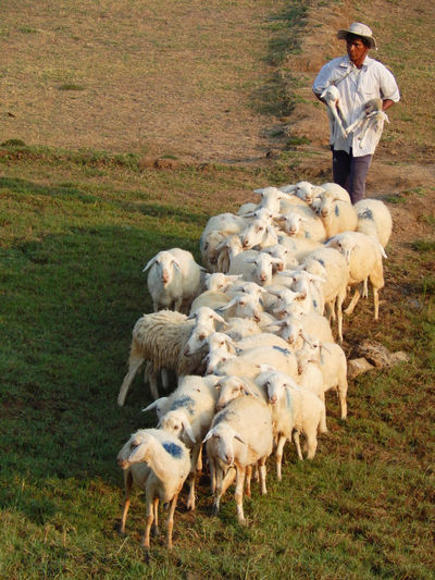 Man standing on field by sheep