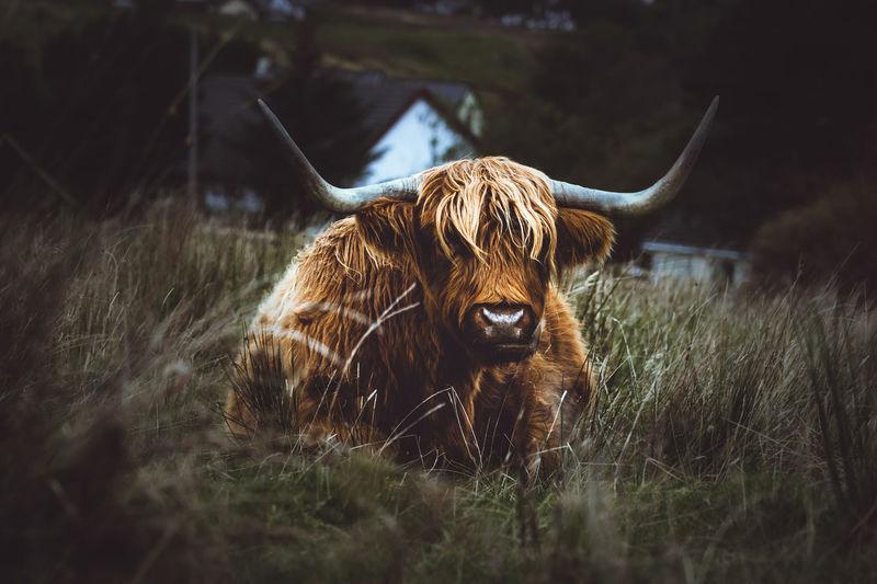 Scottish highlands in a field