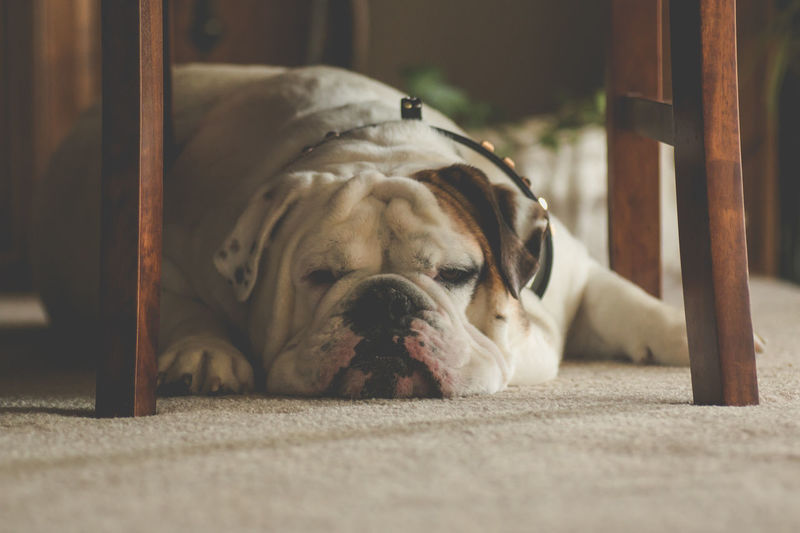 Animal Animal Body Part Animal Head  Bulldog Bulldogs Bulldogs ♥ Bullies Close-up Day Dog Dogs Dogs Of EyeEm Domestic Animals English Bulldog Focus On Foreground Lying Down My Dog No People Pets Portrait Relaxation Resting Selective Focus Showcase June The Week On EyeEm Pet Portraits