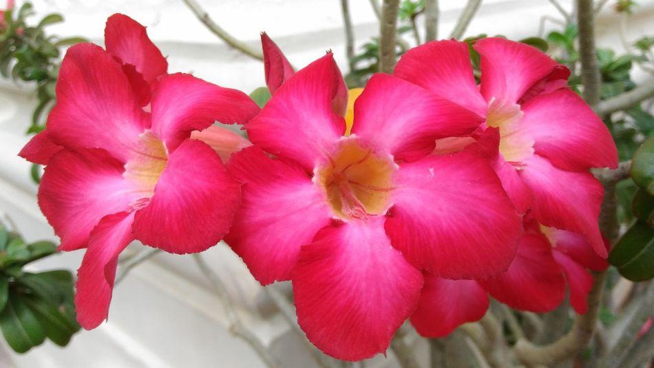 Desertrose Flower Flowers Flower Head Pink Plant Beauty In Nature