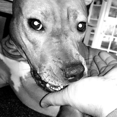 Take a bite :) Pitbull Pitbullterrier Dontbullymypitbull DogLove kärlek dbmpfall dontbullymypitbull13 instapit instadog doglove kärlek hund