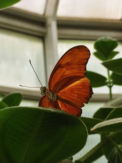 Dryas ilia / Flame Invertebrate Insect Butterfly - Insect Animal Wing Close-up Beauty In Nature Plant Part