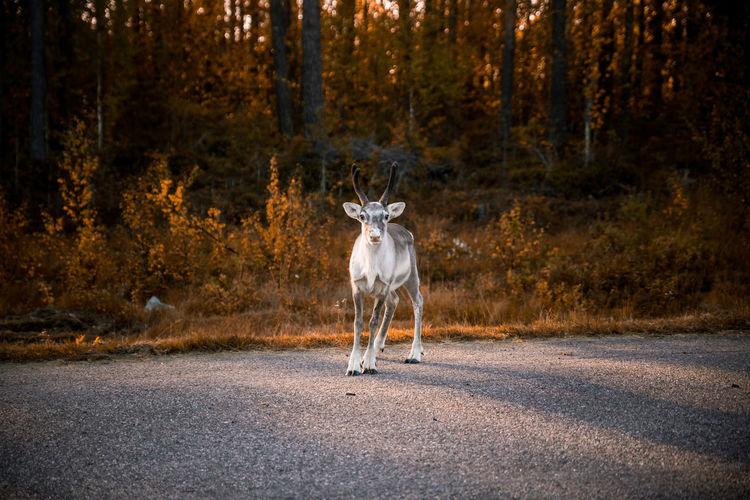 Portrait of reindeer standing on road against trees