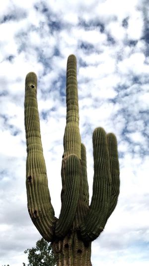 Scottsdale, AZ Cactus Growth Saguaro Cactus Cloud - Sky Sky Nature Low Angle View Outdoors Plant No People Day Scenics Beauty In Nature Wilderness Area