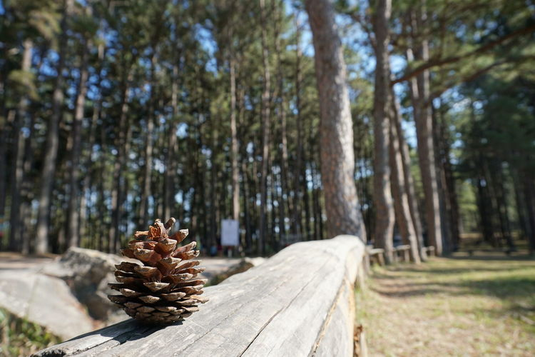 Pine Woodland Wooden Chair Timber Pine Wood Firewood Pine Cone