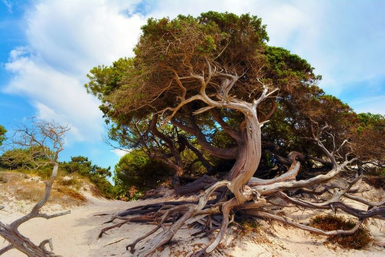 Alghero, Sardinia, Italy Tree Tree Trunk Tree_collection  Roots Of Tree Nature Urban Old Tree Branches Italy❤️ Sardinia Beach No People Sky Scenics Non-urban Scene Outdoors Tourism Sea Roots Sand Alghero Alghero ❤ Tree And Sky Tree Branches
