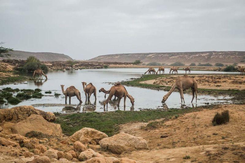 Adventure Oman Landscape Salalah Camels