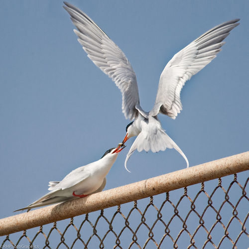 Low Angle View Of Forster Terns Eating Fish Against Clear Sky