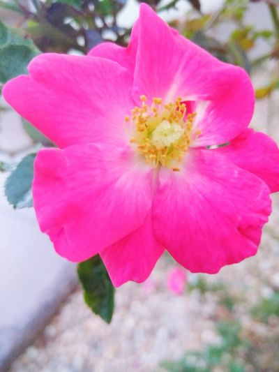 Flower Flower Petal Pink Color Flower Head Beauty In Nature Fragility Close-up Nature Freshness