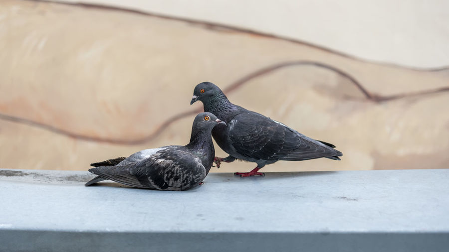 Pigeon perching on a wall