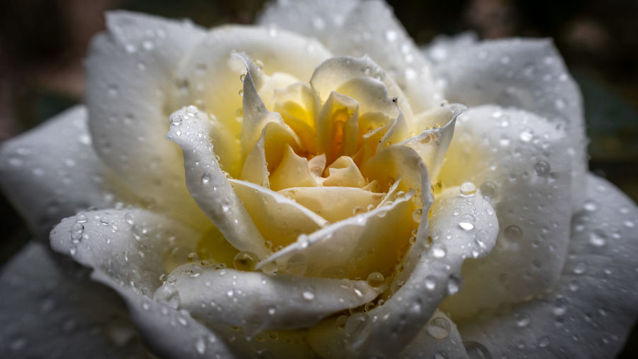 Close-up of wet rose in rainy season