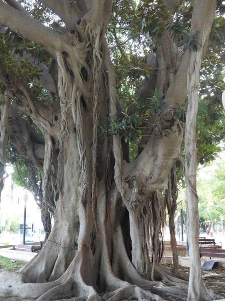 J.J.D.R Beauty In Nature Branch Day Ficus Growth Low Angle View Nature No People Raíces Root Tree Tree Trunk