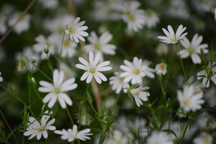 Flower Flowering Plant Plant Fragility Freshness Vulnerability  Beauty In Nature Growth Petal White Color Close-up Flower Head Inflorescence Selective Focus No People Nature Field Day Daisy Outdoors