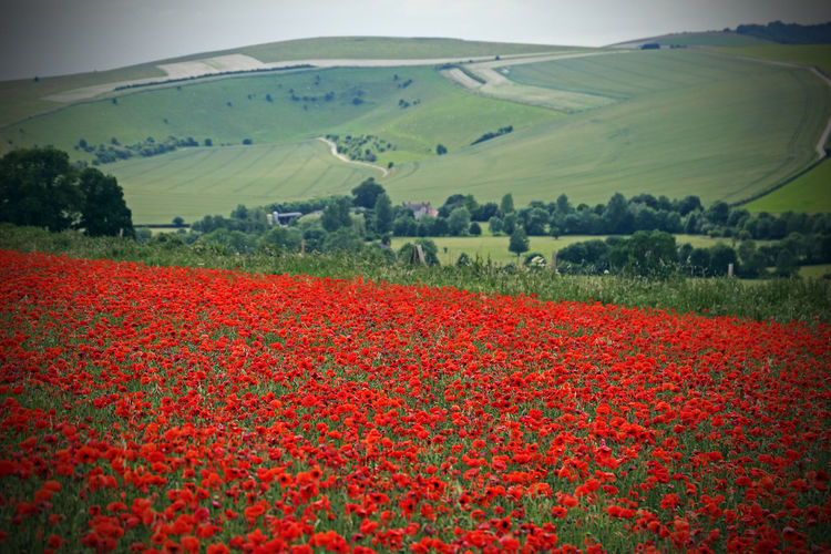 Agriculture Beauty In Nature Crop  Day Farm Field Flower Fragility Freshness Growth Landscape Nature No People Outdoors Poppies  Poppy Poppy Fields Red Rural Scene Scenics Springtime Tranquil Scene Tranquility