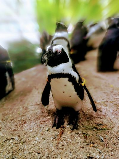 Pinguin Zooparc Overloon EyeEm Selects UnderSea Sea Life Underwater Full Length Portrait Close-up Penguin