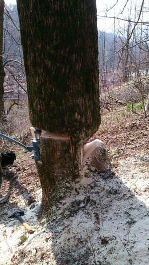 Baumfällung Hydraulischer Fällheber Würzenschnitt Fälltechnik Baumstamm