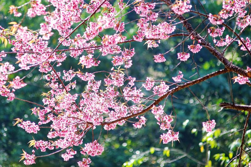 Bueaty In Nature Travel Thailand Cheangmai Thailand Pink Flowers Tree Branch Leaf Forest Close-up Twig In Bloom Pollen Blossom Cherry Blossom
