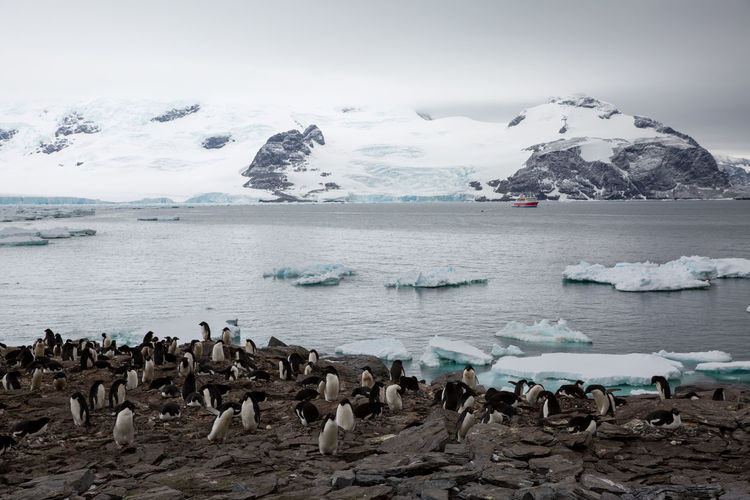 Penguins Perching Against Frozen Sea