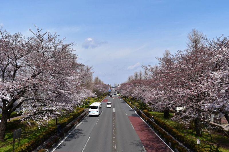 まだ5分咲きだったけどね 桜 Cherry Blossoms 国立 Kunitachi Pink Pink Flower Pink Color Nature