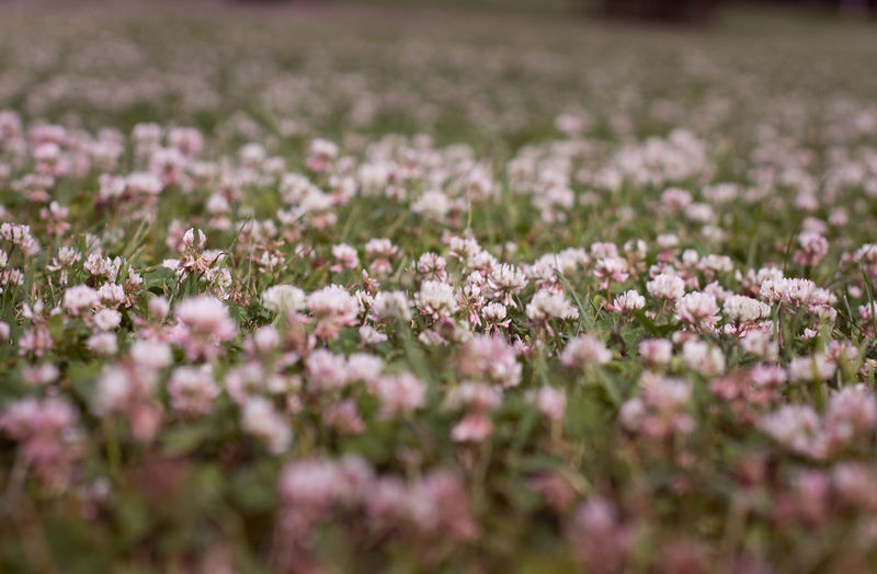 Close-up of pink flowers growing in field