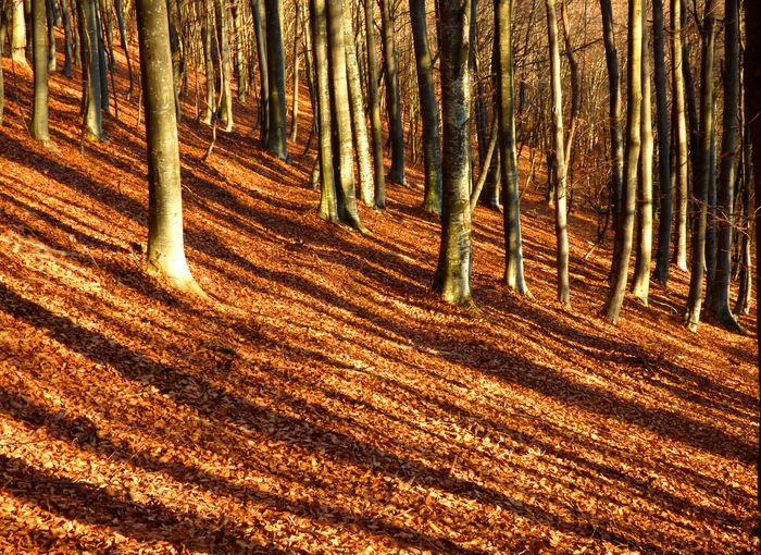 Long Shadows Trees Diagonals Fall Leaf Liter Shadow Shadows Of Trees Spring Trunks