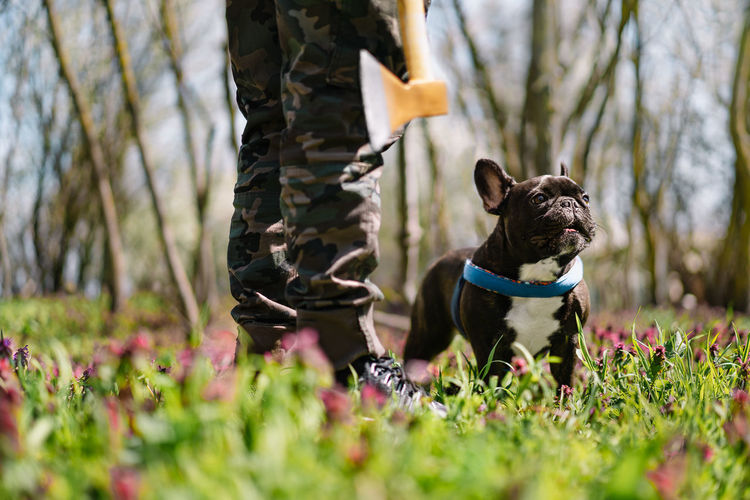 Low section of dog owner with axe and happy french bulldog in forest during spring