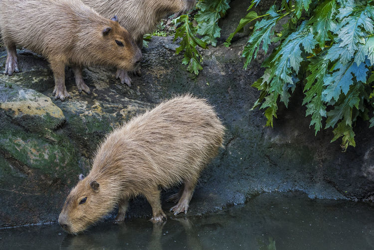 Capybara against lake