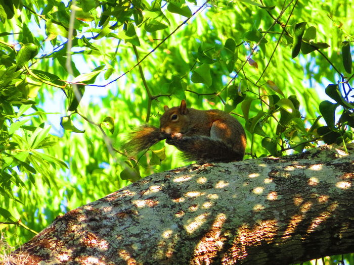 Squirrel on tree limb (in pools of light) Squirrel Squirrel Closeup Squirrels Tree Squirrel Branch Sunlight Forest Animal Themes Green Color