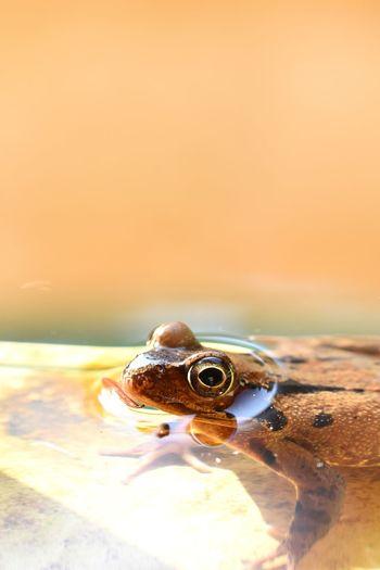 frog in pond Clean Orange Color Orange negative space Toad UnderSea Sea Life Sea Underwater Beach Sand Sunset Water Close-up Animal Eye Amphibian Eye Yellow Eyes Animal Head  Frog HEAD Eye Color EyeEmNewHere