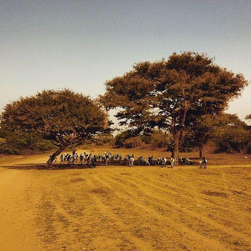 GoatArmy Bagan