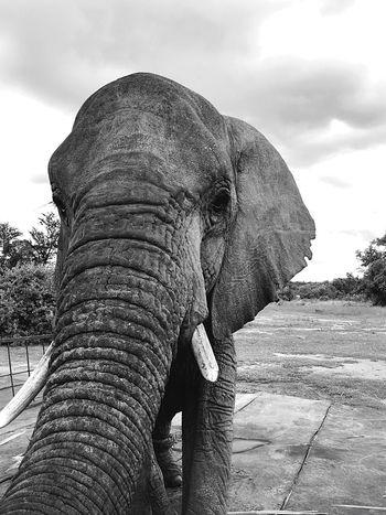 Elephant Animal Trunk Animals In The Wild Tusk Nature Animal Wildlife Day African Elephant Safari Animals Close-up Trunk Grab The Camera Animals Elephants