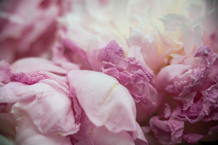 Beauty In Nature Blooming Blossom Botany Close-up Detail Extreme Close-up Flower Flower Head Focus On Foreground Fragility In Bloom Macro Natural Pattern Nature Peony  Petal Selective Focus Still Life