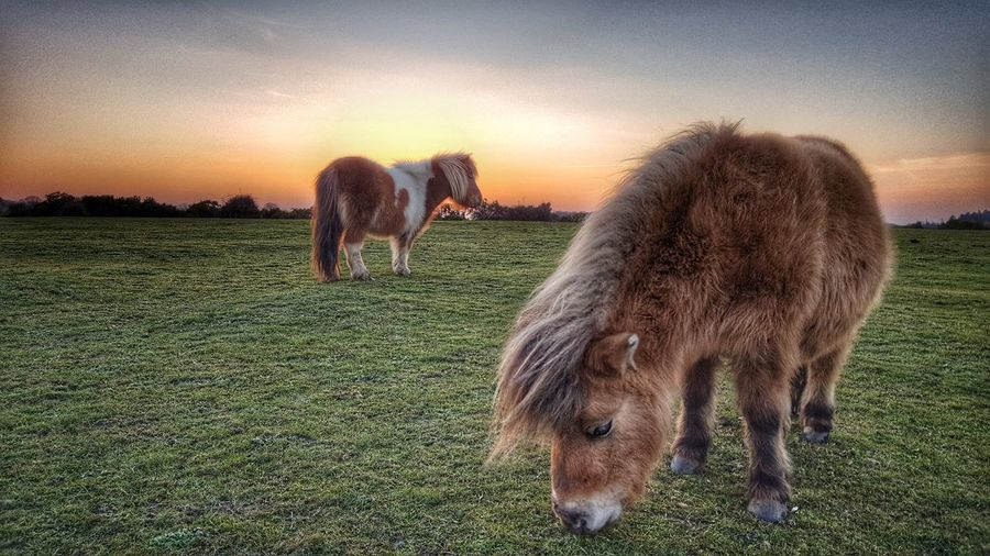 Evening Snack Ponies Nature New Forest Sunset Evening Wild Horses Wildlife Natural World HDR