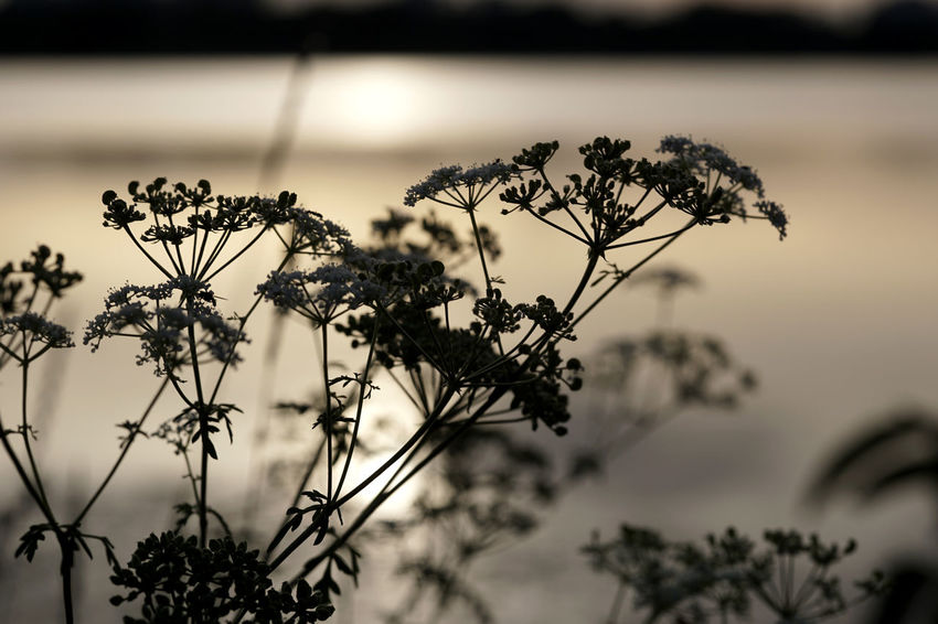 Beauty In Nature Close-up Day Flower Flowering Plant Focus On Foreground Fragility Freshness Growth Lake Nature No People Outdoors Plant Plant Stem Selective Focus Sky Tranquil Scene Tranquility Vulnerability  Wilted Plant