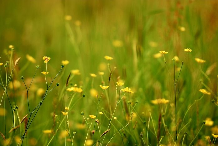 Buttercup Meadow Bulbous Buttercups Creeping Buttercups Wild Grasses Wildflowers Wild Meadow Great Outdoors Outdoor Photography Nikon Photographer Eyeem Collection