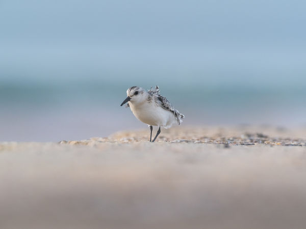 Helgoland Bird Birding Sanderling Animal Themes One Animal Animal Animal Wildlife Animals In The Wild Vertebrate Selective Focus Sea Water Beach Day Nature No People Land Motion Outdoors Perching Sand Seagull