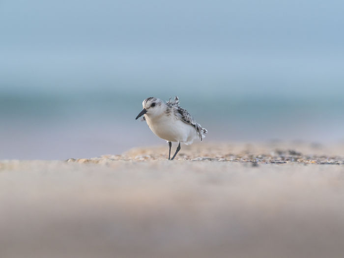 Helgoland Bird Birding Sanderling Animal Themes One Animal Animal Animal Wildlife Animals In The Wild Vertebrate Selective Focus Sea Water Beach Day Nature No People Land Motion Outdoors Perching Sand Seagull