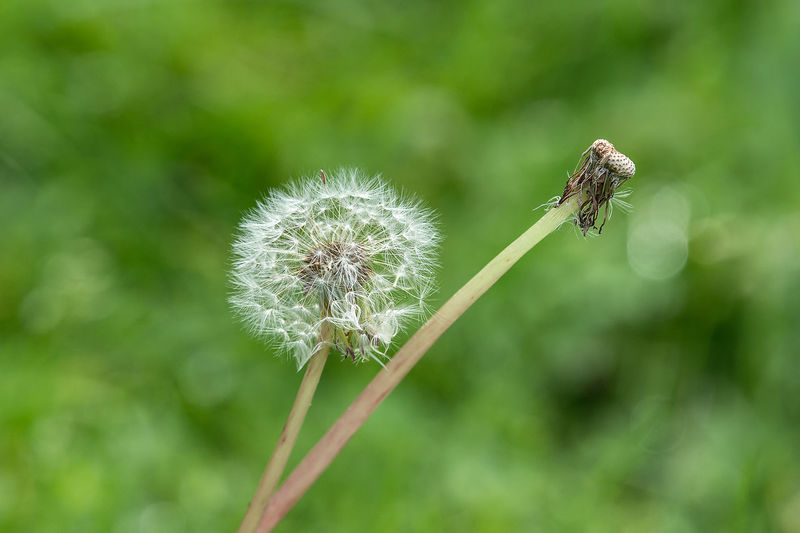 Lithuania Nature Animal Animals In The Wild Beauty In Nature Close-up Dandelion Dandelion Seed Flower Flower Head Flowering Plant Focus On Foreground Fragility Freshness Growth Insect Invertebrate Nature No People Outdoors Plant Plant Stem Pollination Softness Sowthistle Vulnerability