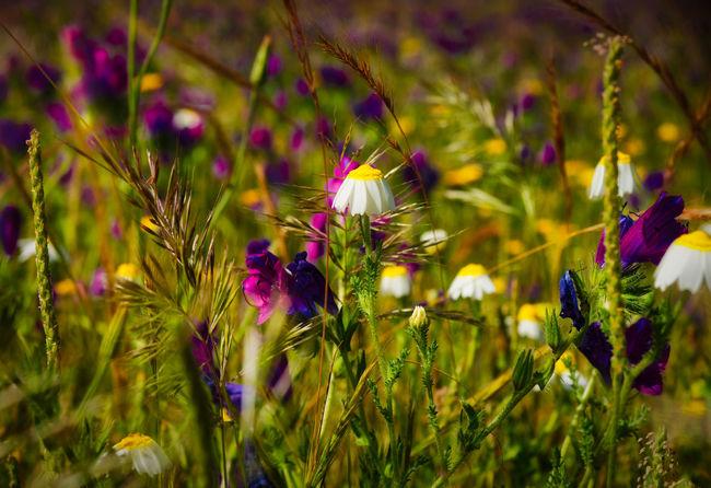 Daisy Plant Life Botany Blossom Focus Flowering Plant