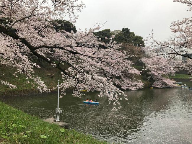 桜 曇っていたけどキレイでした!