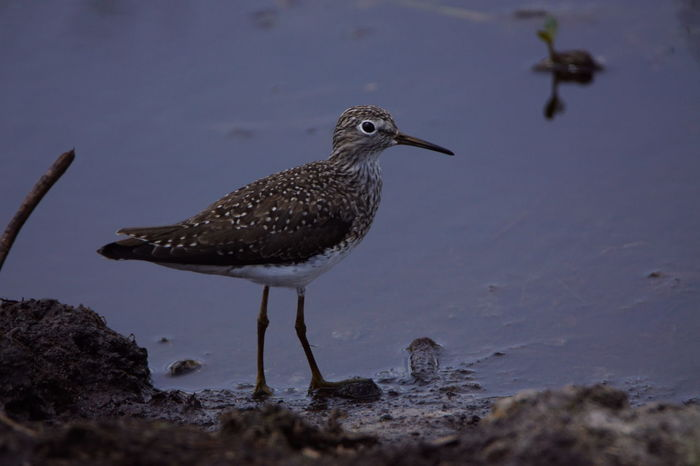Animal Themes Animal Wildlife Animals In The Wild Beauty In Nature Bird Close-up Day Lesser Yellowlegs Nature No People One Animal Outdoors Perching Water